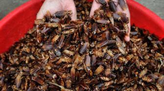 Cucarachas criadas en granjas combaten residuos de alimentos