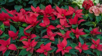 Pequeños productores garantizan abasto de flor de nochebuena