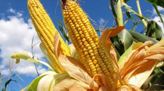 Anuncian incentivos a la producción de granos en la región centro – bajío