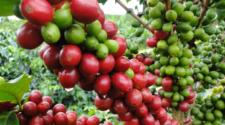 Cambio climático: amenaza para el cultivo de café