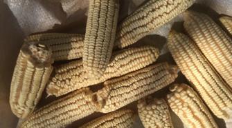 Investigadoras crean plástico a base de almidón de maíz y cartón