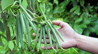 Productores de vainilla en Veracruz buscan certificación orgánica