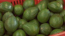 Uruapan busca certificación orgánica para aguacate y maíz