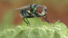 Al reciclar materia orgánica, las moscas mantienen el equilibrio ecológico