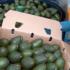 Envíos de aguacate mexicano al Super Bowl superan las expectativas
