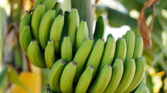 Colima exporta plátano orgánico certificado