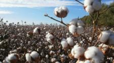 Algodón, la fibra natural más importante del mundo