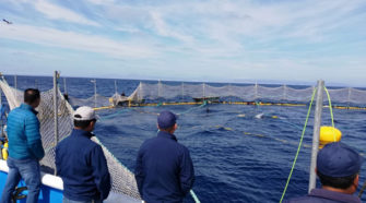 Liberan 245 toneladas de atún aleta azul en Baja California