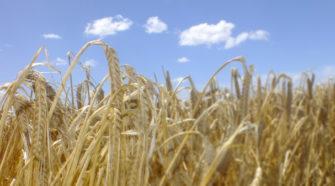 En marcha, programa de financiamiento para productores de cebada