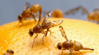 Productores piden acelerar medidas para evitar mosca del mediterráneo