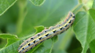 Opciones agroecológicas para el manejo de gusano cogollero