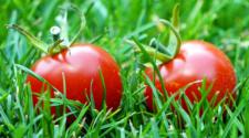 Productores de tomate a 3 condiciones de llegar a un acuerdo con EUA