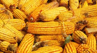 Capacitan a pequeños y medianos productores de maíz