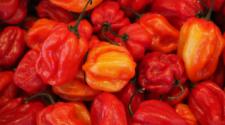 Investigadores descubren el chile habanero más picante