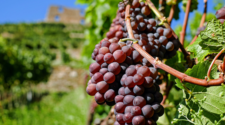México exporta 5 millones de cajas de uvas a EUA semanalmente