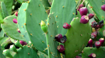Universitarias del Edomex crean cucharas biodegradables de nopal