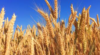 Estiman exportaciones de trigo de 760 mil toneladas en 2019