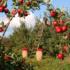 Impulsan cultivos de frutales y café en Nayarit