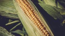 México compró 328 mil toneladas de maíz a EEUU