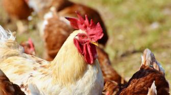 Productos avícolas, claves para la salud y economía de los mexicanos