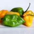 Científicos en Yucatán desarrollan chile habanero resistente a parásitos