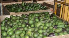 Exportación de aguacate en peligro por inseguridad en Michoacán