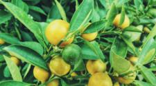 Protegen de plagas a cultivos de cítricos en sureste mexicano