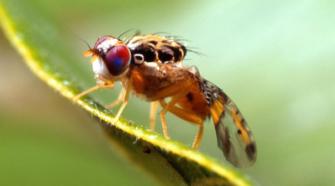 Reforzarán Programa Trinacional de mosca del Mediterráneo