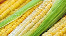 Siembran 95% de superficie de maíz en el cañón de Juchipila