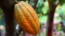 Incrementa producción de cacao en Tabasco