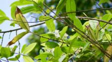 Las plantas se alertan entre sí cuando están siendo atacadas por plagas