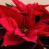 Michoacán producirá más de 8 millones de plantas de Nochebuena