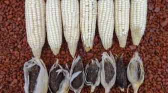 Investigadores del Colpos desarrollan maíz resistente a enfermedades