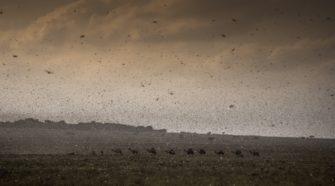 "Plaga de langosta ""devora"" cultivos al este de África"
