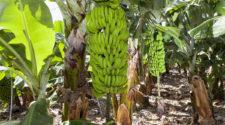Plataneros de Oaxaca impulsan reducción en el uso de agroquímicos