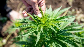 El cannabis orgánico podrá certificarse este año