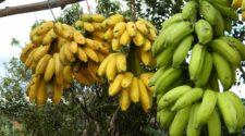 FAO inicia programa contra enfermedad del banano