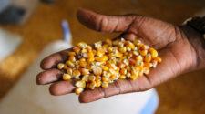 Piratería de semillas cuesta al mercado nacional 100 millones de dólares