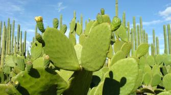 Destacan aportación del nopal a la economía de México