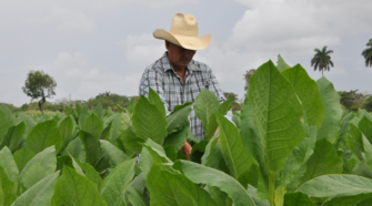 Advierten efectos adversos del tabaco también para quien lo cultiva