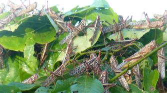 Avanza control de plaga de langosta en 10 estados de la República Mexicana