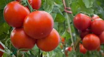 Productores de Sonora inician exportación de tomate orgánico