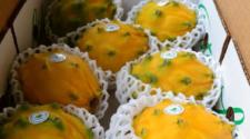 Llega a EEUU primera exportación de pitahaya orgánica de Ecuador