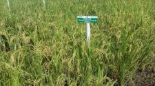 Desarrollan Sader e Inifap proyecto nacional de semillas mejoradas de arroz