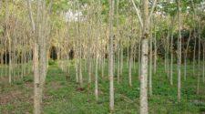 Especialistas del Inifap desarrollan cedro rojo para proyectos de reforestación