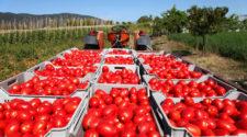 Graves afectaciones en caso de aumentar aranceles al jitomate mexicano