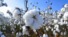Productores de algodón estiman siembra récord para 2019