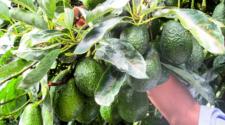 Promueven programas sostenibles de aguacate en Michoacán