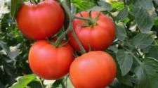 Sinaloa espera resolución favorable en dumping del tomate