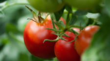 En Sinaloa, 85 mil empleos en riesgo por arancel a tomate mexicano